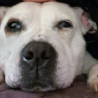 Medium Female Staffordshire Bull Terrier Mix Dog
