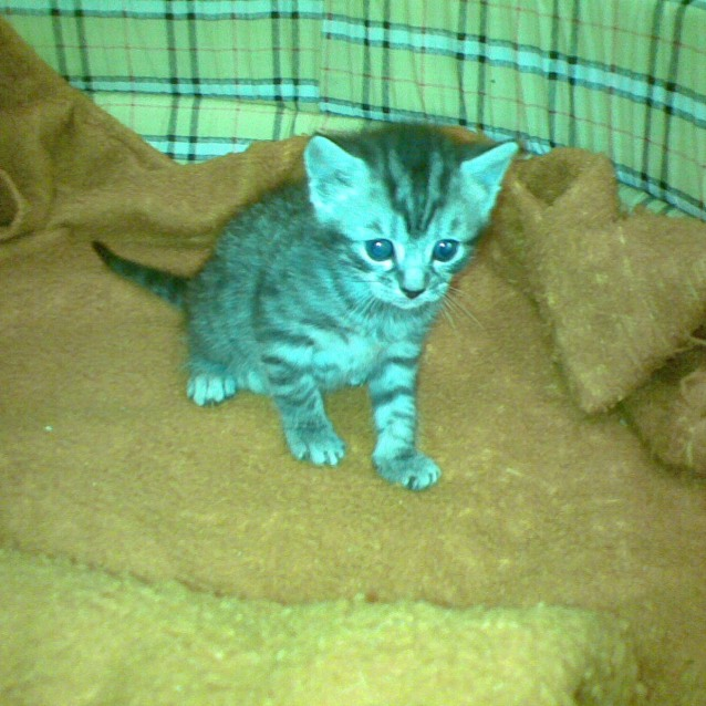 Photo of Silver   Black Tabby