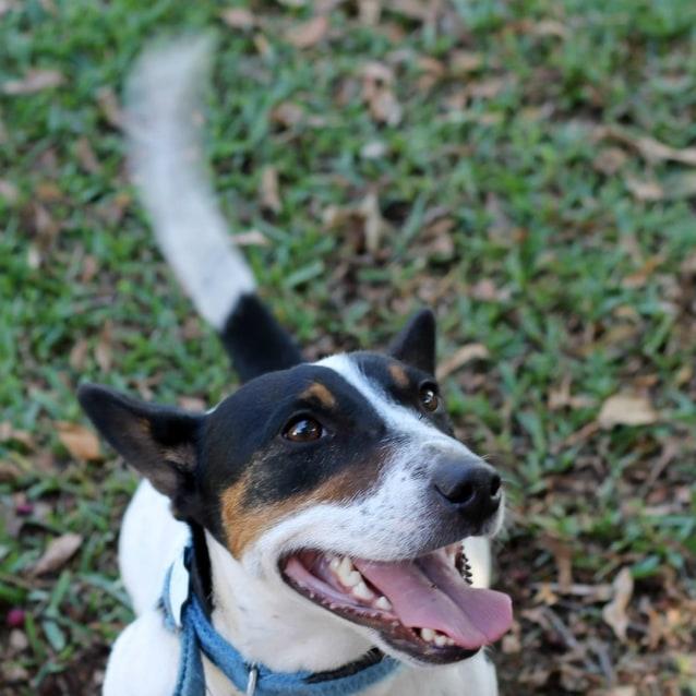 Corgi Rescue Dogs Nsw