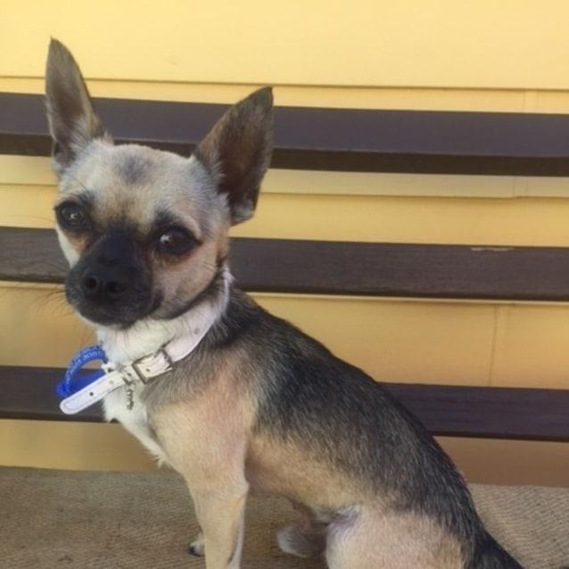 Photo of Rex ~ Chihuahua