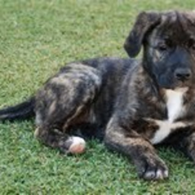 Photo of **Adoption Pending** Kohana