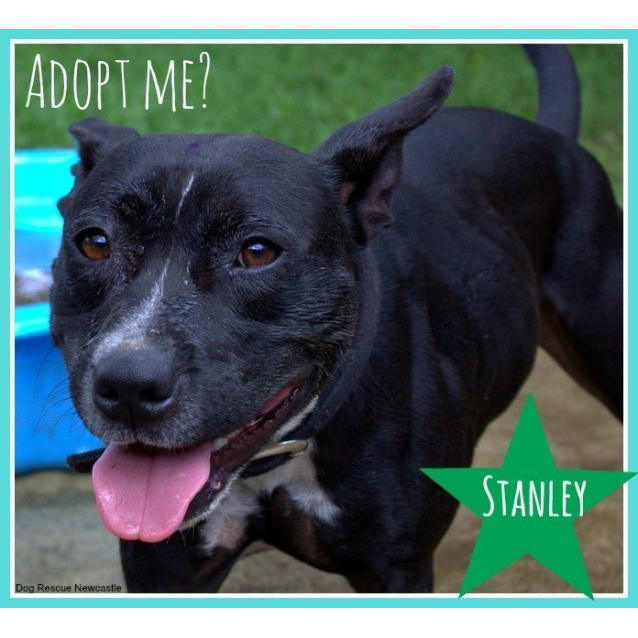 Photo of Stanley ~ Staffy X (On Trial 12/8/15)