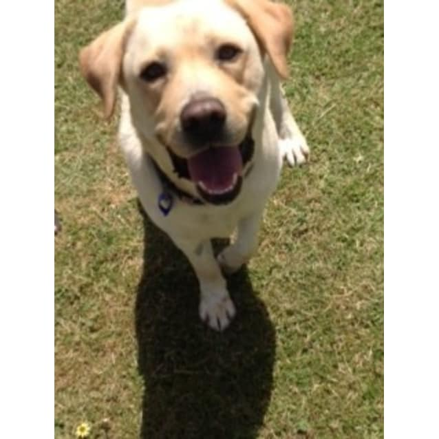 Photo of Ollie ~ Labrador (On Trial 24/11/16)