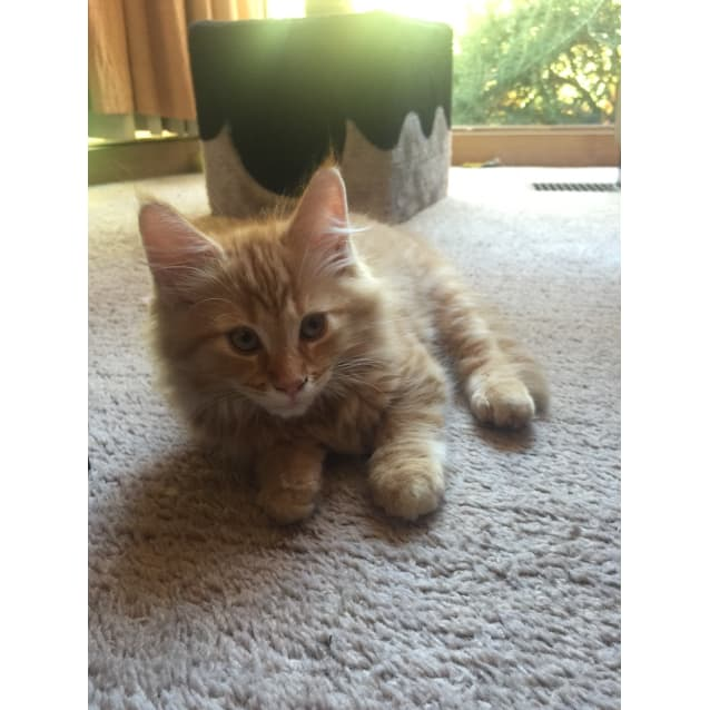 Photo of Simba (Located In Caulfield South)
