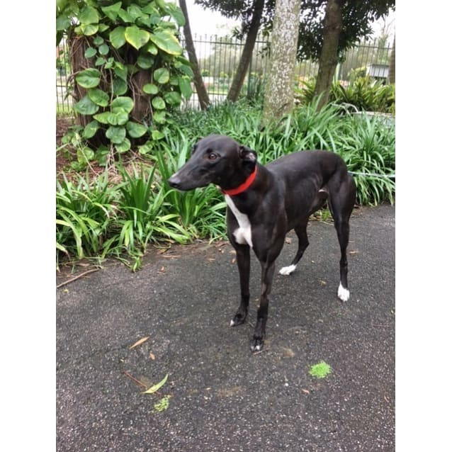 Photo of Sassy (Greenhound In Training)