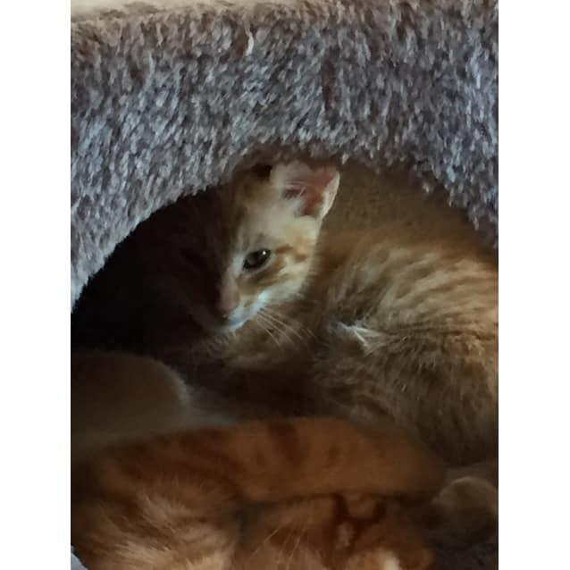 Photo of Snap 🦁 Ginger Ninja Kitten