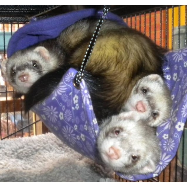 Photo of Several Ferrets Needing Homes