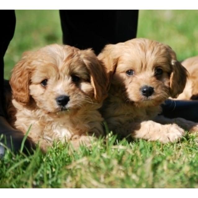 Cavoodle Pup Medium Male Poodle Cross Cavalier King