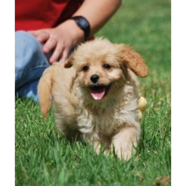 Daisy Cavoodle Medium Female Poodle X Cavalier King Charles Dog