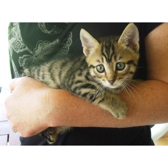 Mittens - Female Domestic Short Hair Cat in WA - PetRescue