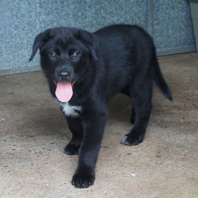Hudson - Medium Male Malamute x Lab Dog in QLD - PetRescue