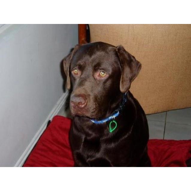 Paddington - Large Male Labrador x Chocolate Dog in VIC - PetRescue