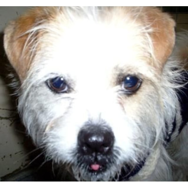 bbba89139ddd Benji 739318 - Small Male Jack Russell Terrier Wirehaired Dog in VIC ...