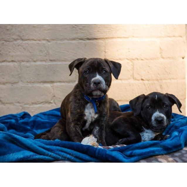 Photo of Puppies! 9 Beautiful Boys And Girls