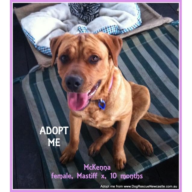 Photo of Mc Kenna (On Trial 21/11/14)~ Rotti X Labrador