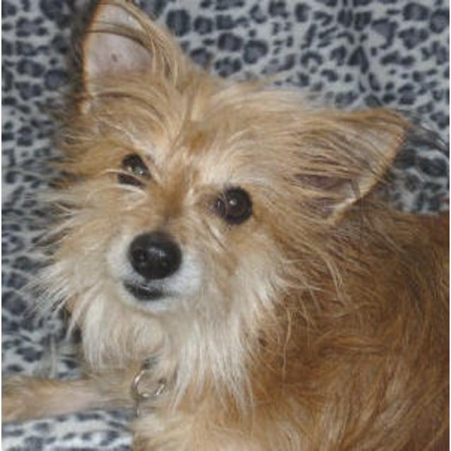 Dougal Small Male Australian Terrier X Pomeranian Mix Dog In Nsw