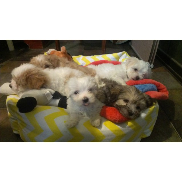 puppies - Small Male Cavalier King Charles Spaniel x Maltese