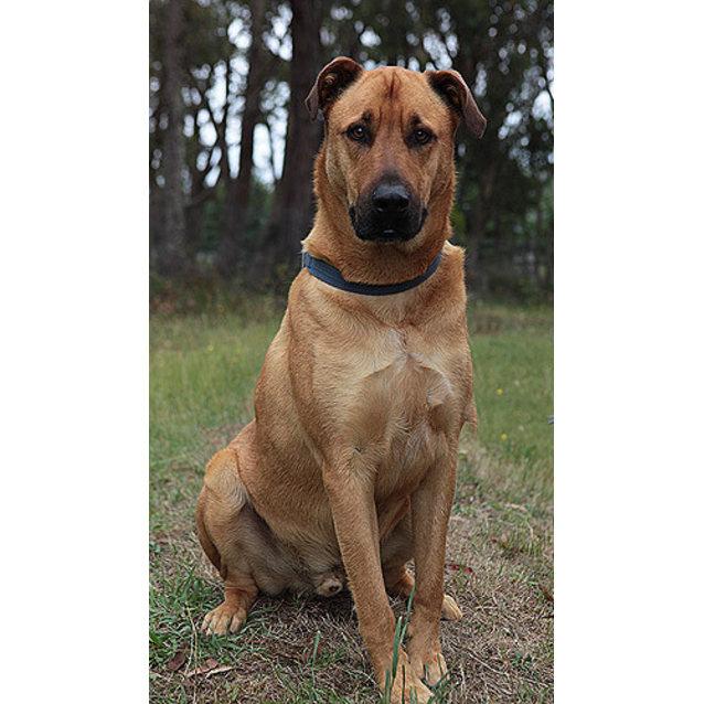 Jasper Medium Male Rhodesian Ridgeback X German Shepherd Dog Mix Dog In Nsw Petrescue