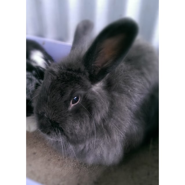 Nova Female Jersey Wooly Mix Rabbit In Wa Petrescue