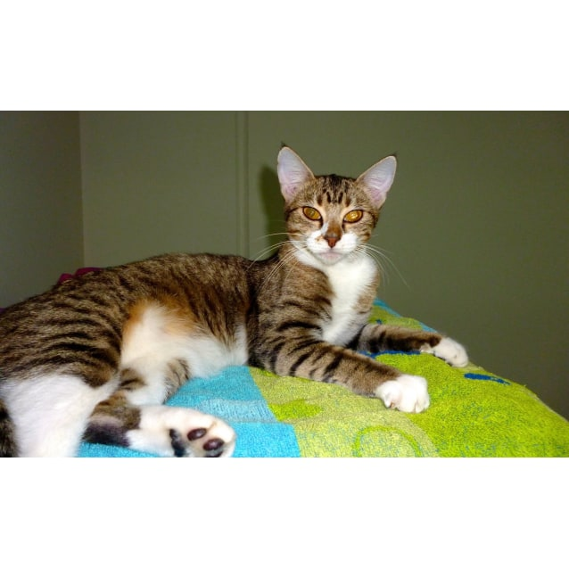 """Photo of """"Betsy""""   Purrfect Match Cat Adoptions"""