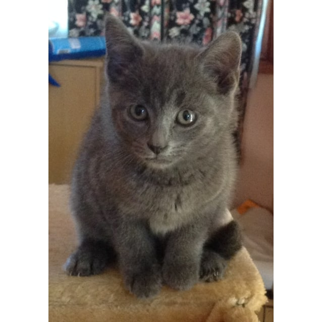 Willow Resembles Russian Blue Female Domestic Medium Hair Cat In Nsw Petrescue