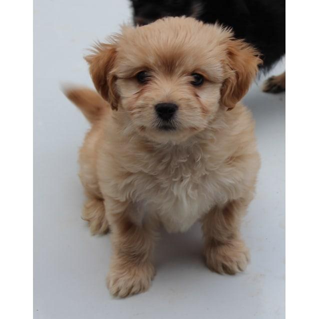 Billie - Small Female Maltese x Poodle x Shih Tzu Mix Dog in