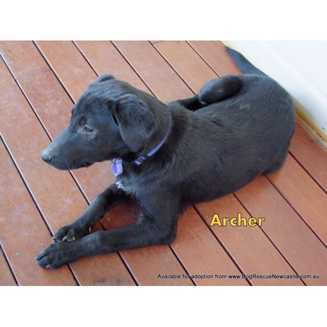 Photo of Archer (New Profile Made)~ Male Kelpie X