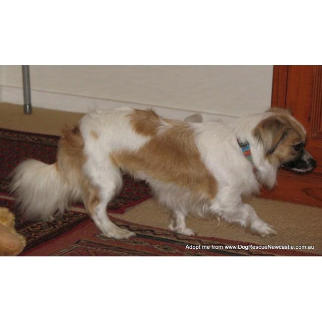 Photo of Mia (Relisted) ~ Tibetan Spaniel