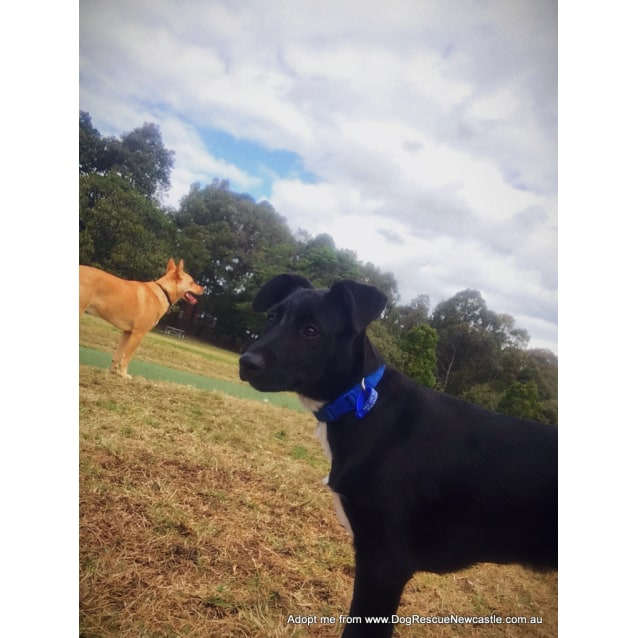 Photo of Darth (Adopted 10/2014) ~ Lab X Kelpie Puppy