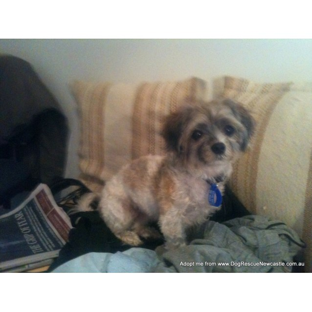Photo of Frankie (On Trial 17/1/15)~ Female Shih Tzu X