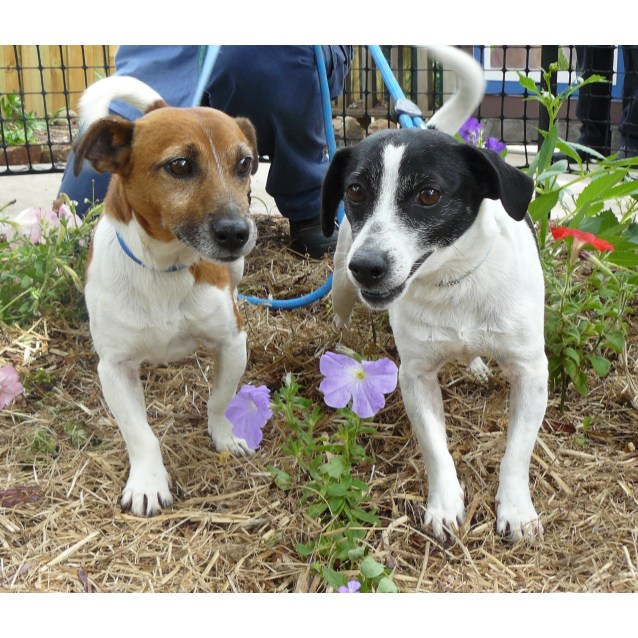 Barney - Small Male Jack Russell Terrier Mix Dog in TAS - PetRescue