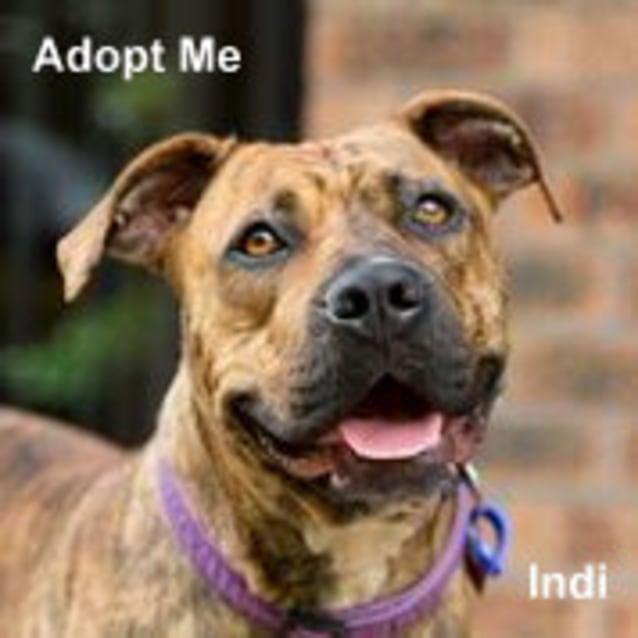 Photo of Indi (Trial 15/2/15) Mastiff X Staffy (Low Maint)
