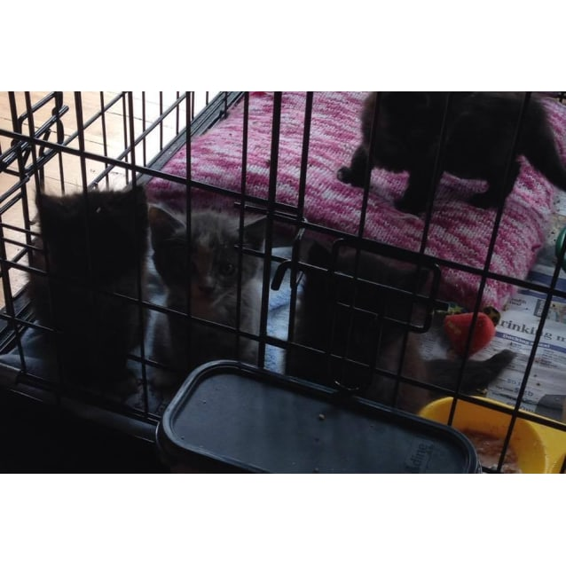 Photo of Miya (Sweet Kitten In Coburg)