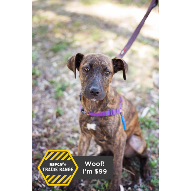 Oahu - Large Female German Shorthaired Pointer x English ...