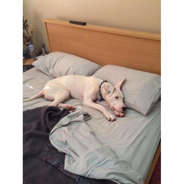 Photo of Skye ~ Bull Arab Puppy (On Trial 28/02/16)
