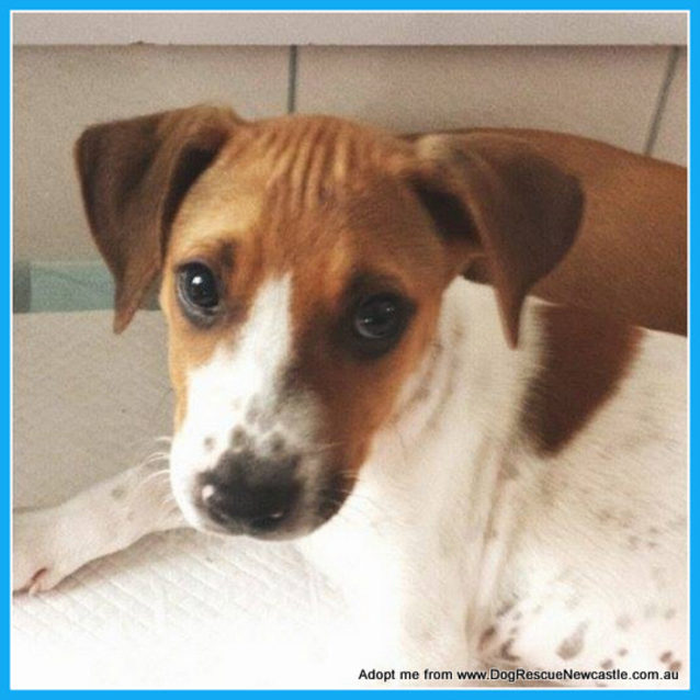 Photo of Abby ~ Red Cattle Dog X (On Trial 26/4/15)