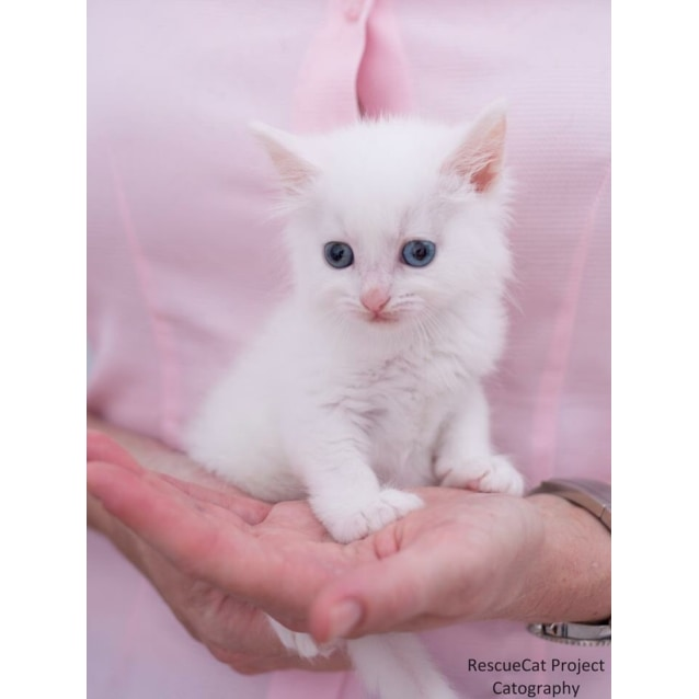 Photo of Beautiful Pure White / Blue Eyed Kittens