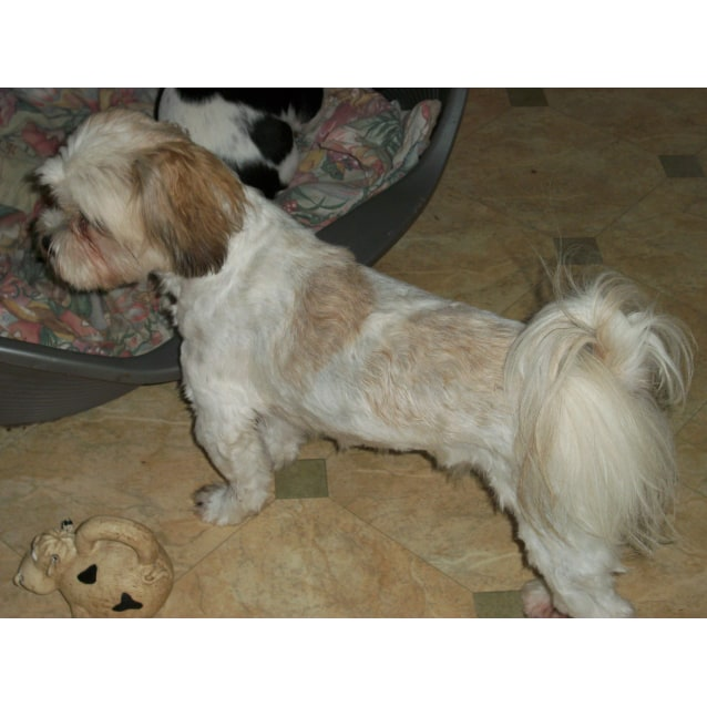 Photo of Sophie ~ Shih Tzu