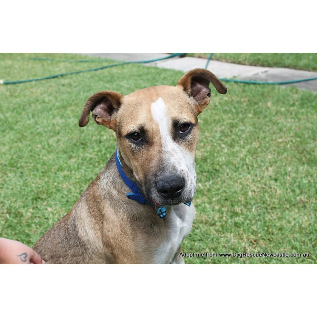 Photo of Sid ~ Cattle Dog Mix, (On Trial 10/4/15)