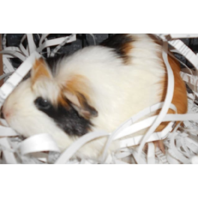 Spotty Female Short Hair Crested X Sheltie Long Haired Mix Guinea Pig In Qld Petrescue