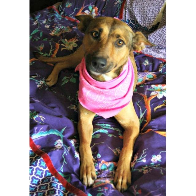 Photo of Luna ~ Kelpie X, 2yo ~ (On Trial 12/4/15)