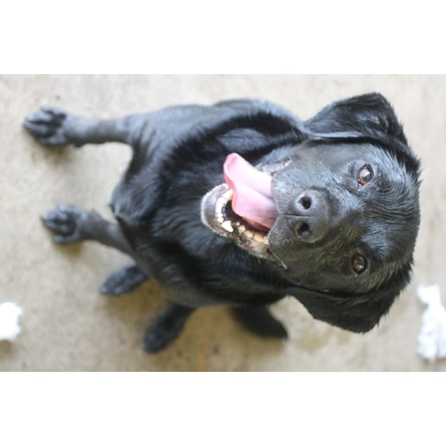 Ajax - Medium Male Labrador Retriever Mix Dog in NSW - PetRescue