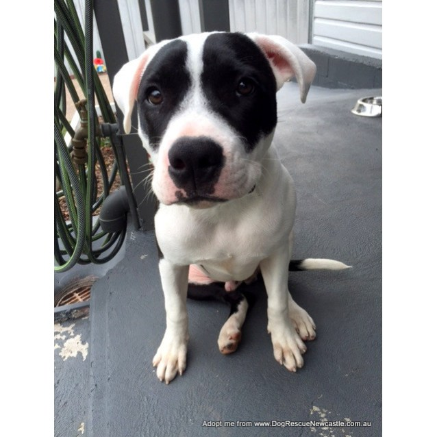 Photo of Kahlo ~ Staffy X, Male, 9 Mths (On Trial 28/3/15)