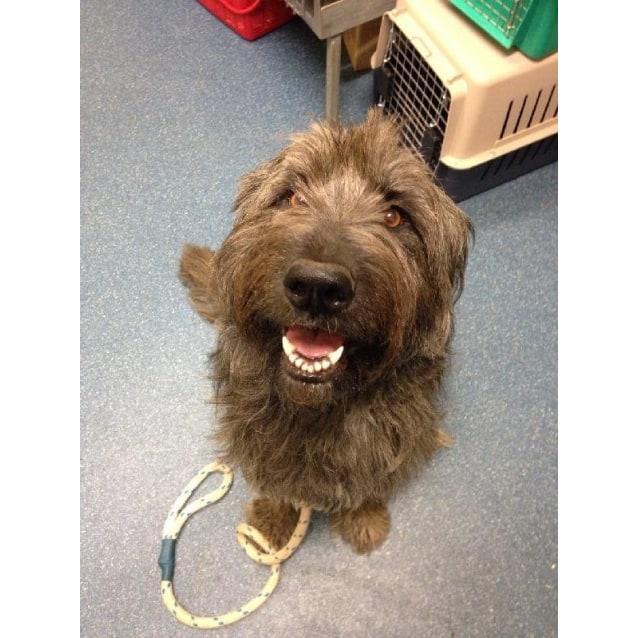 Leila - Large Female Tasmanian Smithfield Dog Mix Dog in QLD - PetRescue