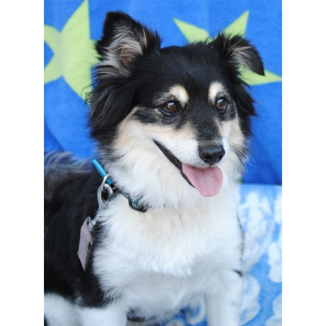 Loxy Medium Male Border Collie X Pomeranian Mix Dog In Qld Petrescue