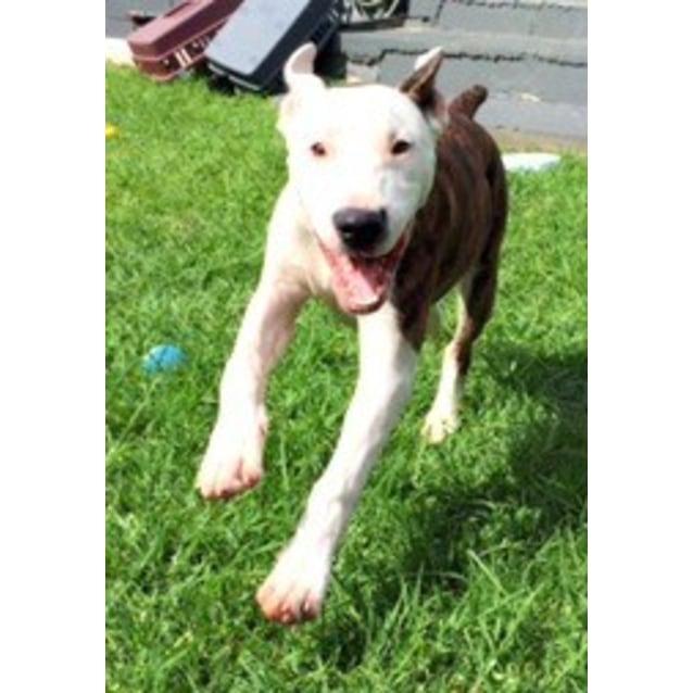 Photo of Bruce ~ Bull Arab X Bull Terrier (Trial 9/5/15)