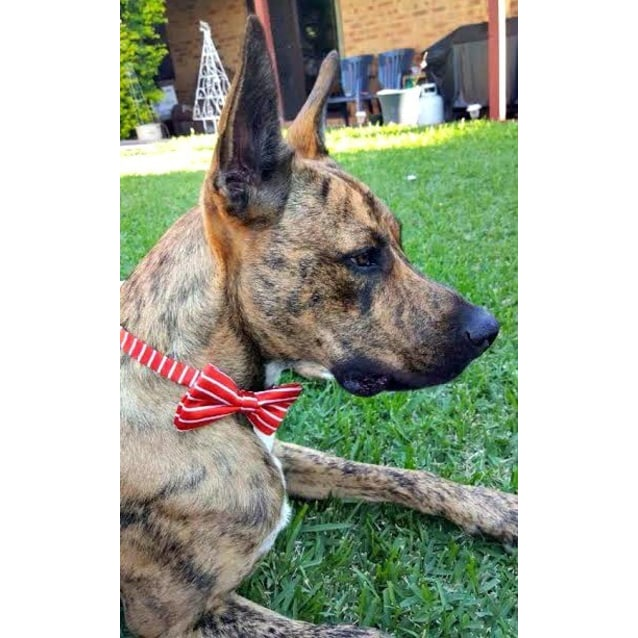 Photo of Chad ~ Great Dane X (Trial 16/5/15)