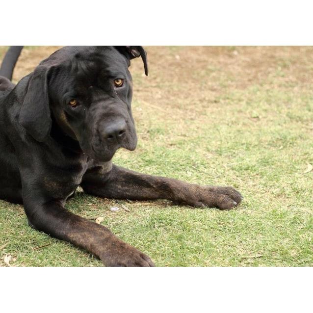 Brucey - Large Male Neapolitan Mastiff x Rottweiler Mix Dog