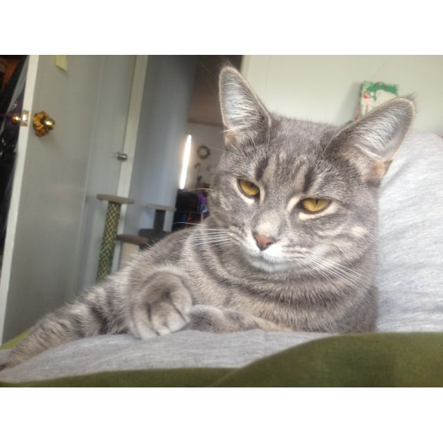 Photo of Galadriel (Blue Tabby)