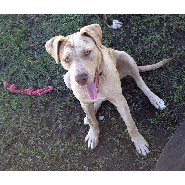 Photo of Miss Latte ~ Catahoula (On Trial 28/6/15)